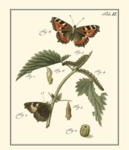 butterfly-metamorphosis-i